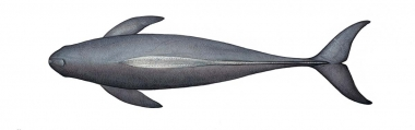 Image of Indo-Pacific finless porpoise (Neophocaena phocaenoides) - Adult topside