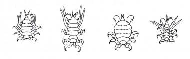 Image of Common Ectoparasites on Cetaceans - Lice all occurring on grey whale; from left to right Cyamus eschrichtii, C. kessleri, C. scammoni, C. ceti  (C. ceti  also occurs on bowhead whale)